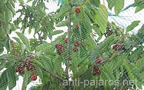 Control de aves malla anti pajaros en cerezas