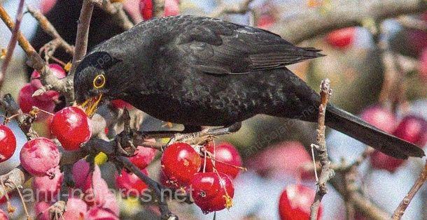 Mirlo devorando bayas sin la protección de la red anti pájaros GUACAMALLAS